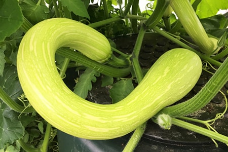 tromboncino zucchini are different kinds of zucchini visually in that they resemble a brass wind instrument in shape