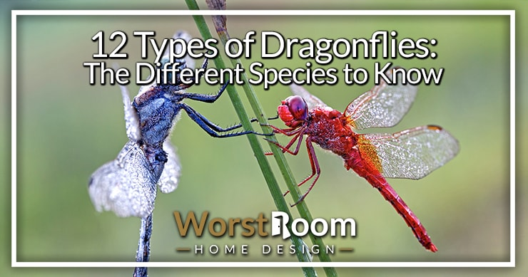 types of dragonflies